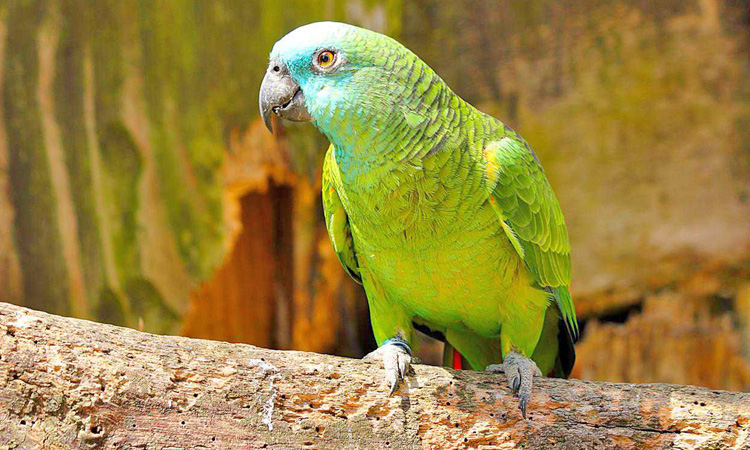 Amazon Parrot Mesh